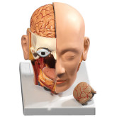 Anatomisk modell av Huvud / Anatomical model of Head