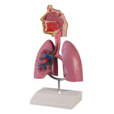 Svalg luftstrupe lungor /  Model of the respiratory system incl. lungs, throat, nasal cavity etc.